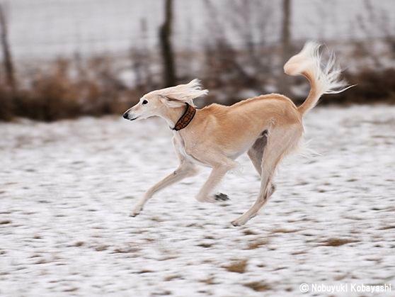 獣猟犬(サイト・ハウンド)チー...